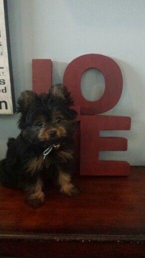 Meet Anna She S A Pekingese Yorkshire Terrier Mix Terrier Mix Yorkshire Terrier Pekingese