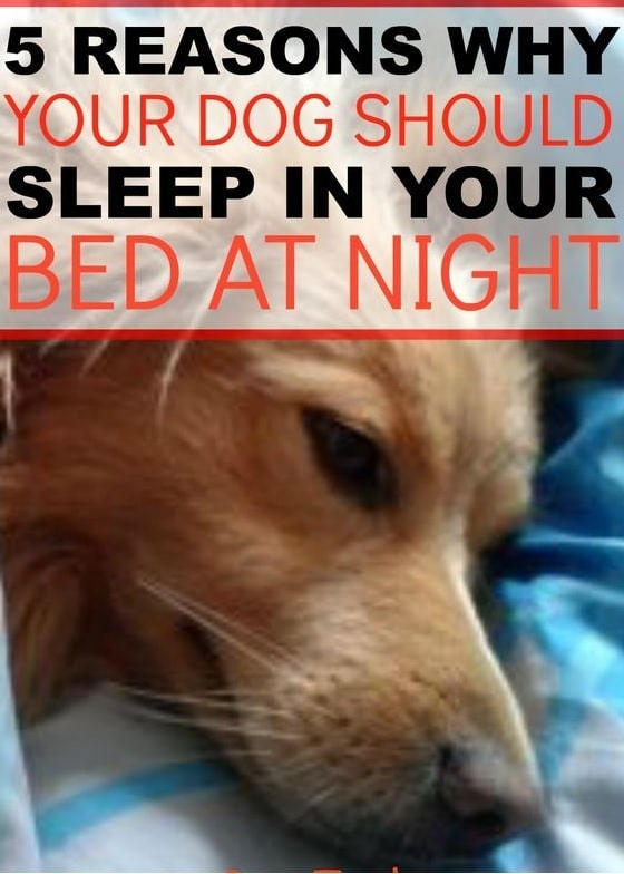 5 Reasons Why Your Dog Should Sleep In Your Bed At Night Dogsignsdiy Signsaboutdogs Doginfo Dogcare Dogtrain In 2020 Sleeping Dogs Dog Care Dog Sleeping Positions