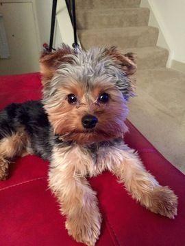 Yorkshire Terrier Puppy For Sale In Grovetown Ga Adn 62095 On Puppyfinder Com Gender Male Age 2 Yorkshire Terrier Puppies Yorkshire Terrier Yorkie Terrier