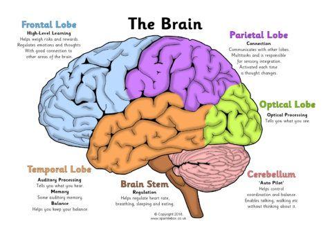 Label the Brain Worksheets (SB11585) - SparkleBox | Brain ...