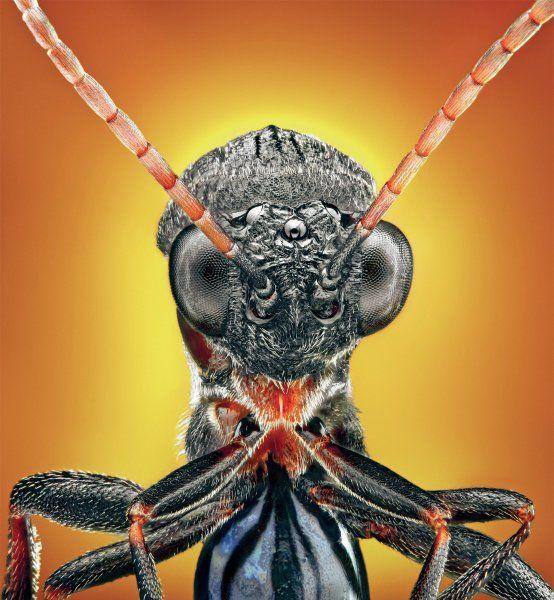 Gallwespe: Manche Insekten verfügen zusätzlich zu ihren Komplexaugen über Punktaugen. Auf dem Bild sind drei davon in der Mitte des Kopfs zu sehen. Vermutlich helfen sie den Tieren, das Gleichgewicht zu halten. Gallwespen sind im Mittelmeerraum und in der Gegend um das Schwarze Meer besonders verbreitet.