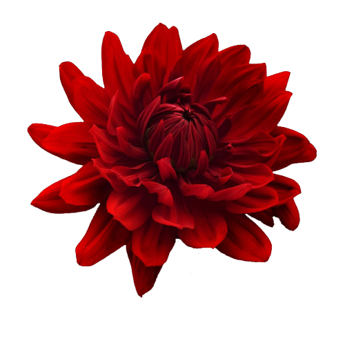 transparenci Transparent 'red flower'! made by