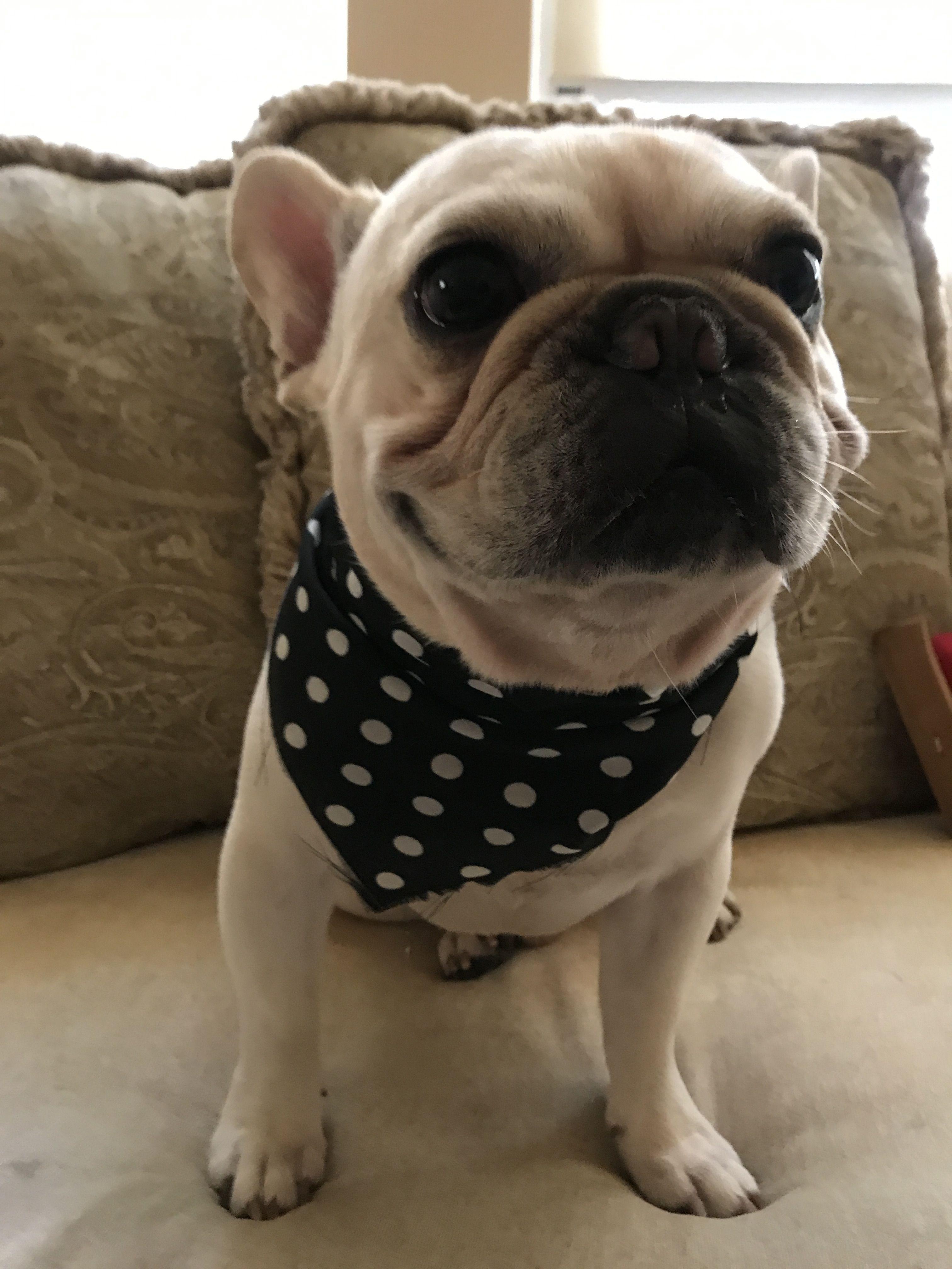 Pin By Natalie Bihl On French Bulldogs French Bulldog Frenchie