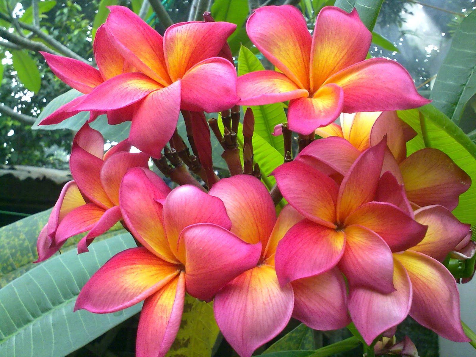 Bunga Kamboja http://flowersandbunga.blogspot.com/2014/03