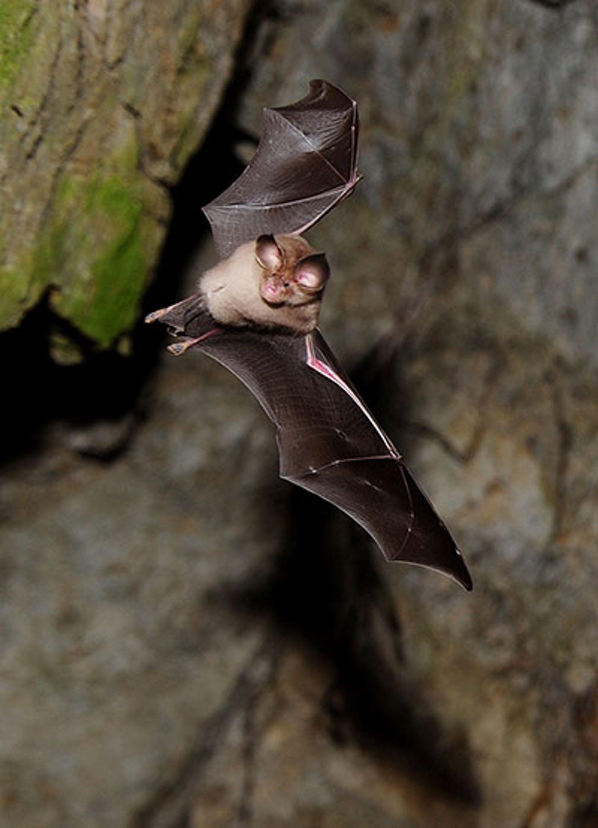 A bat in a cave by the river danube near bazias romania