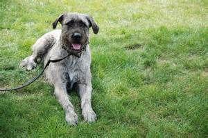 Irish Wolfhound Mastiff Mix Pa Bing Images Mastiff Mix Irish