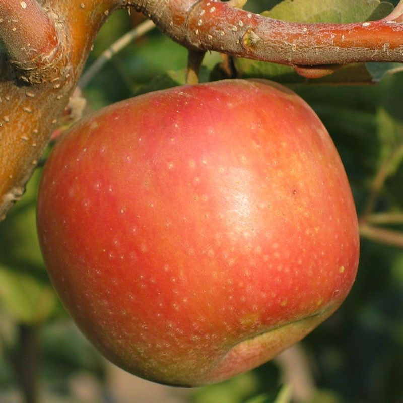 Sundowner Apple A Dwarf Variety Perfect For Our Weather Http Www Groworganic Com Catalogsearch Result Order Releva Fruit Trees Dwarf Fruit Trees Apple Tree