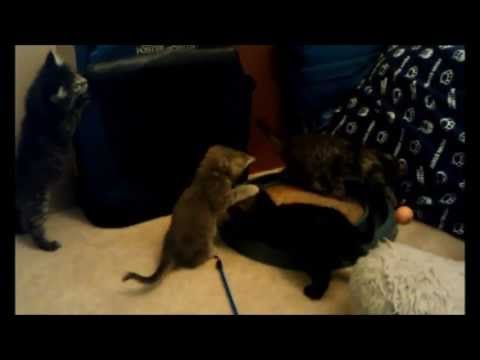 AVAILABLE FOR ADOPTION GINGER KITTENS Tommy is a