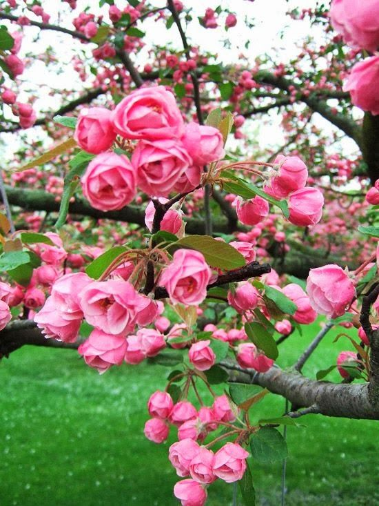 Spring Blooms of the Brandywine Crabapple - they look like tiny rose buds