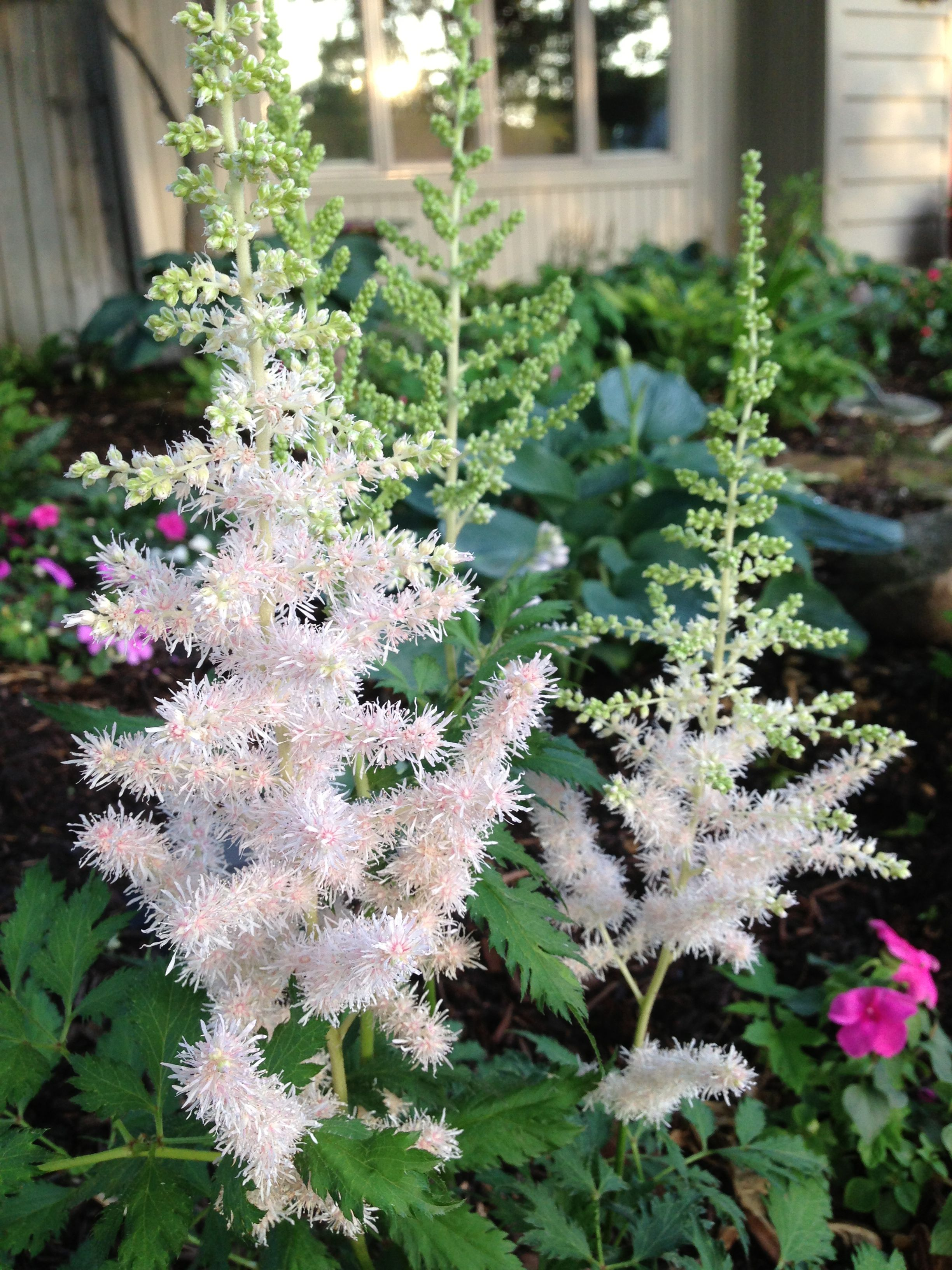Astilbe Milk And Honey Received Mail Order First Of April And Blooming Gilberthwilandson Surprised Me With Quality Mail Order Plants Garden Journal Plants