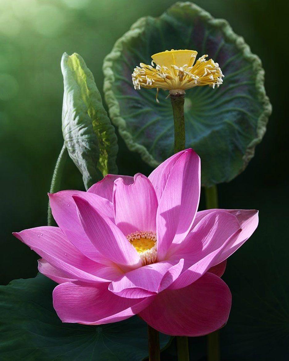 Pin by Олена Лев on Квіти плоди листя in 2020 Lily lotus