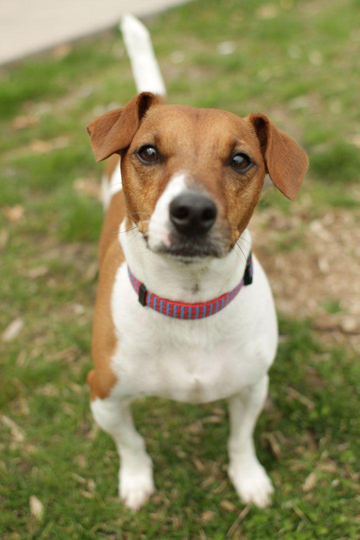 Frazer Jack Russell Terrier Jack Russell Jack Russell Terrier