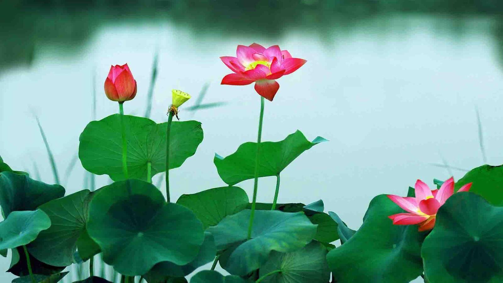 Pinterest Desktop Wallpaper Lotus Quote Hoa Sen H 236 Nh ảnh đẹp Hoa Sen đẹp Nhất H 236 Nh ảnh đẹp Về