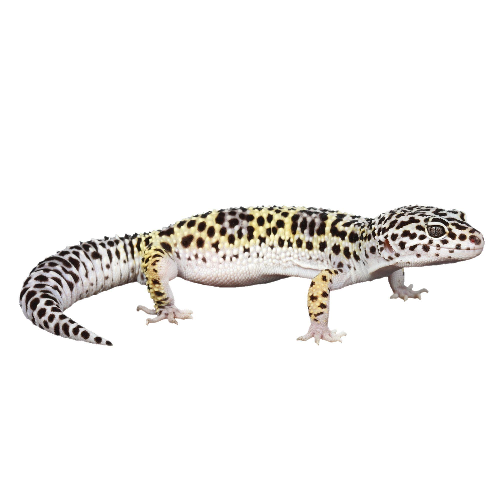 Leopard Gecko In 2020 Leopard Gecko Leopard Gecko Care Reptiles Pet