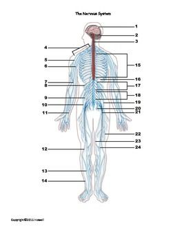 Central Nervous System and Quiz 2