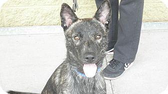 Gilbert, AZ - German Shepherd Dog Mix. Meet Koda a Dog for Adoption.