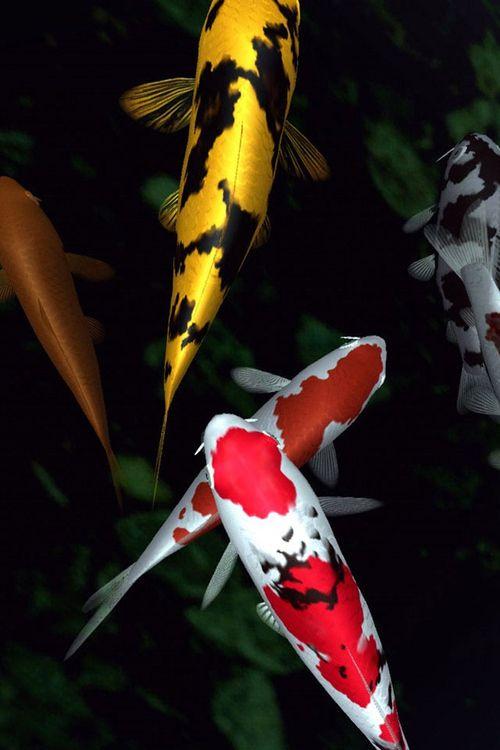 Living A Life In Flower Koi Fish Beautiful Fish Koi Carp
