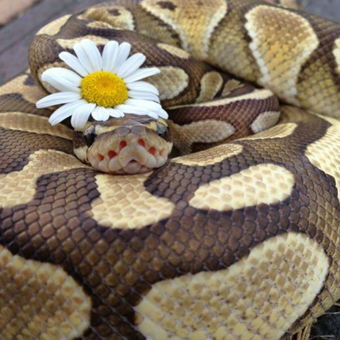 Ball Python Love Cute Reptiles Pet Snake Snakes With Hats