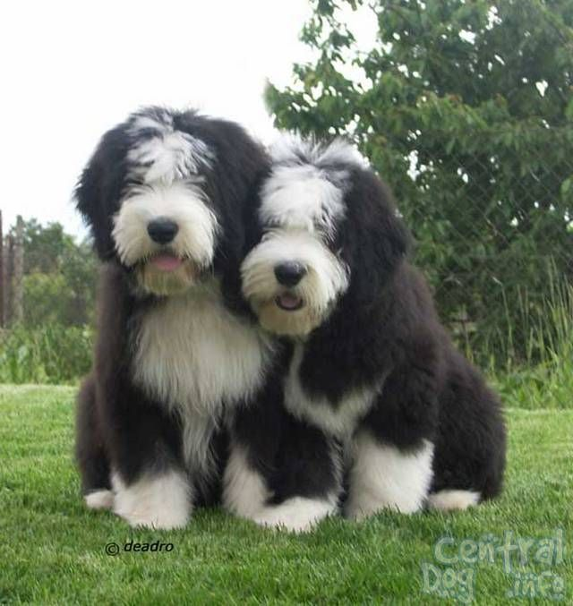Havanese Haircuts Bearded Collie Haircut Puppies