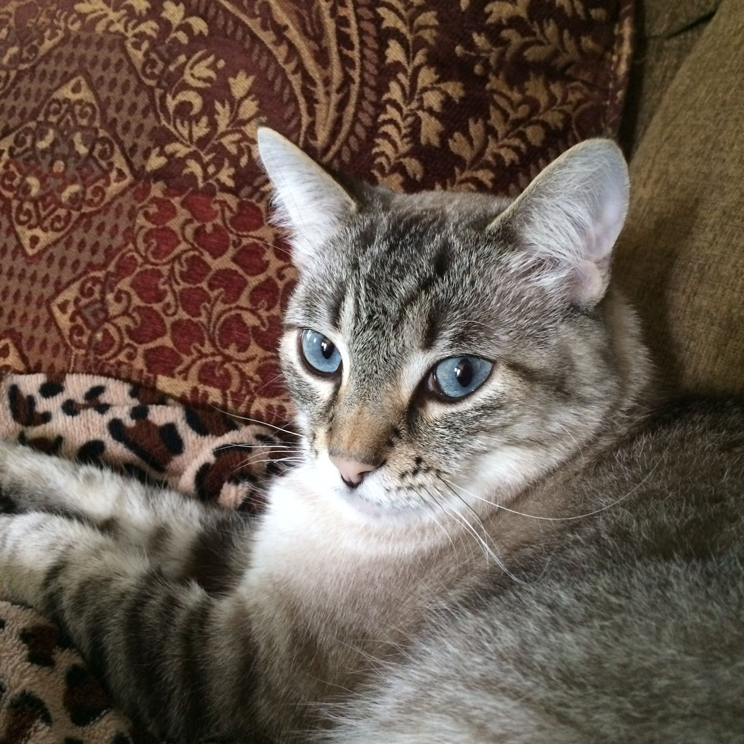 Miss Mimi Lynx Point Siamese Cat Siamese cats, Cats and