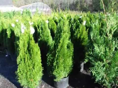 About Watering Your Arborvitae Http Www Digatree Com Wateringarborvitae Html Call Us For Help And Questions At With Images Emerald Green Arborvitae Arborvitae Fertilizer