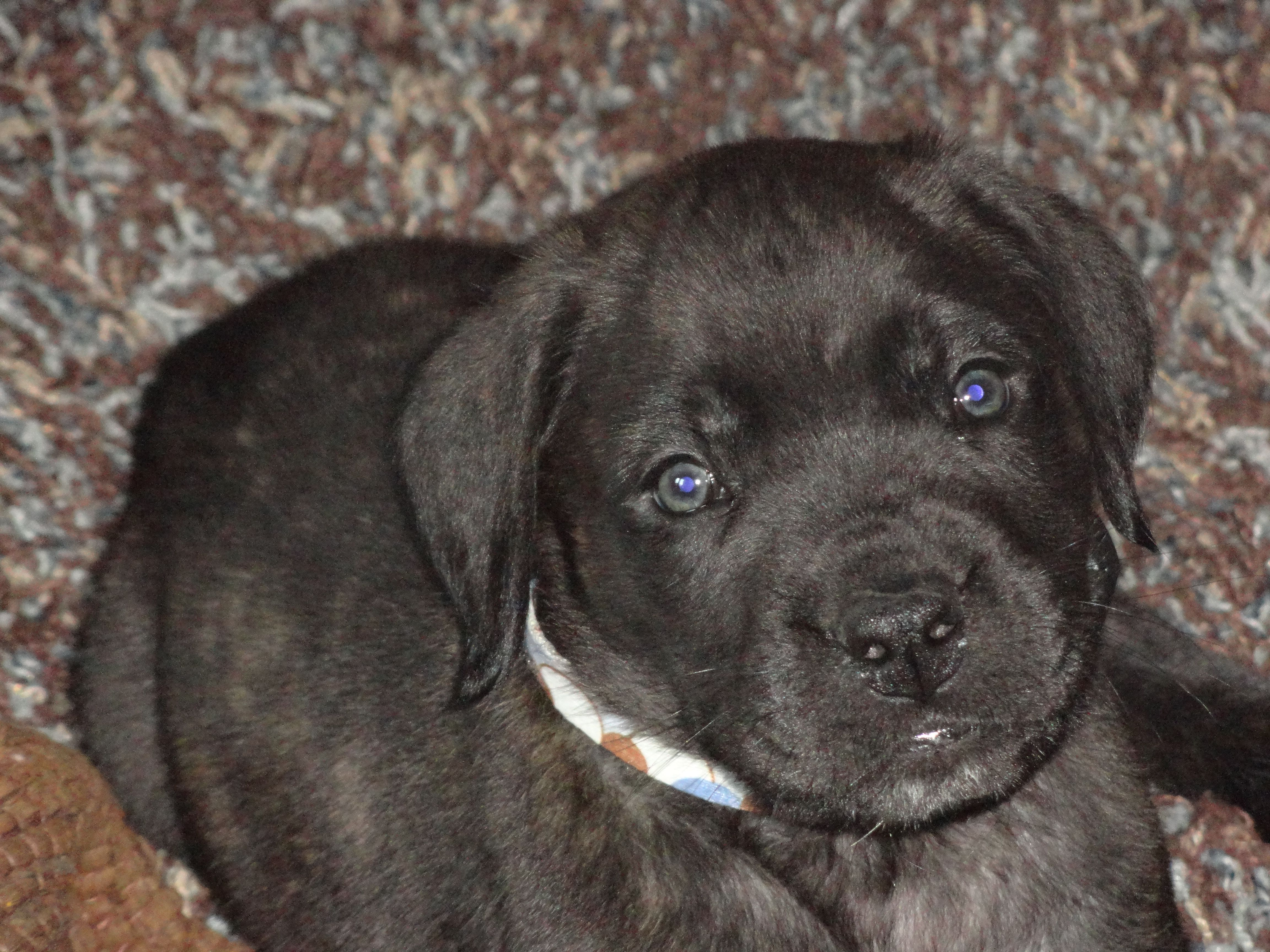 Shamus 6 Week Old Brindle English Mastiff Puppy Hunde