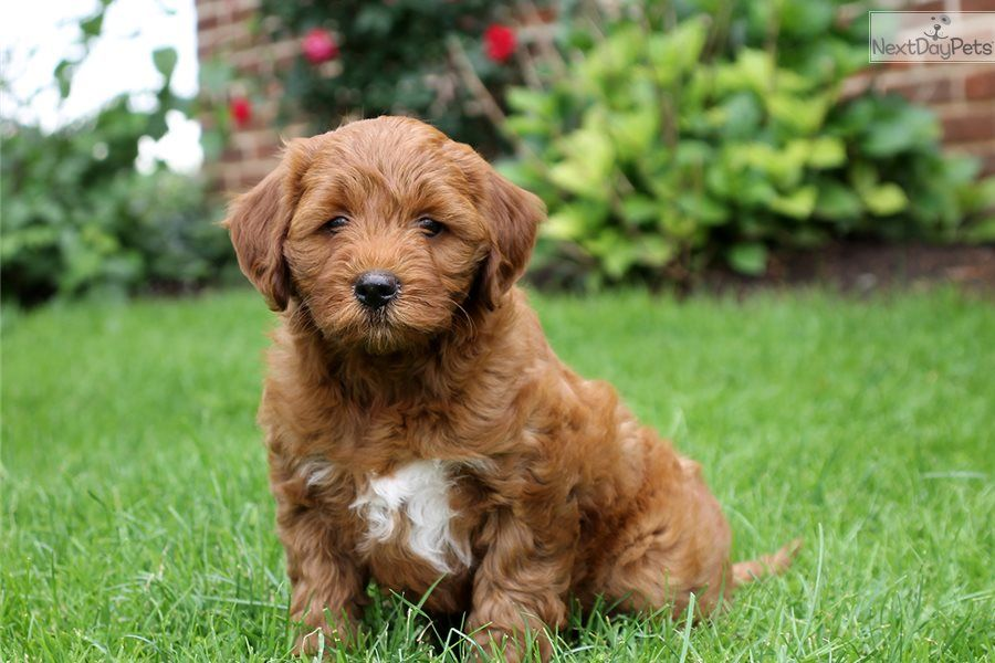 Goldendoodle Puppy For Sale Near Lancaster Pennsylvania
