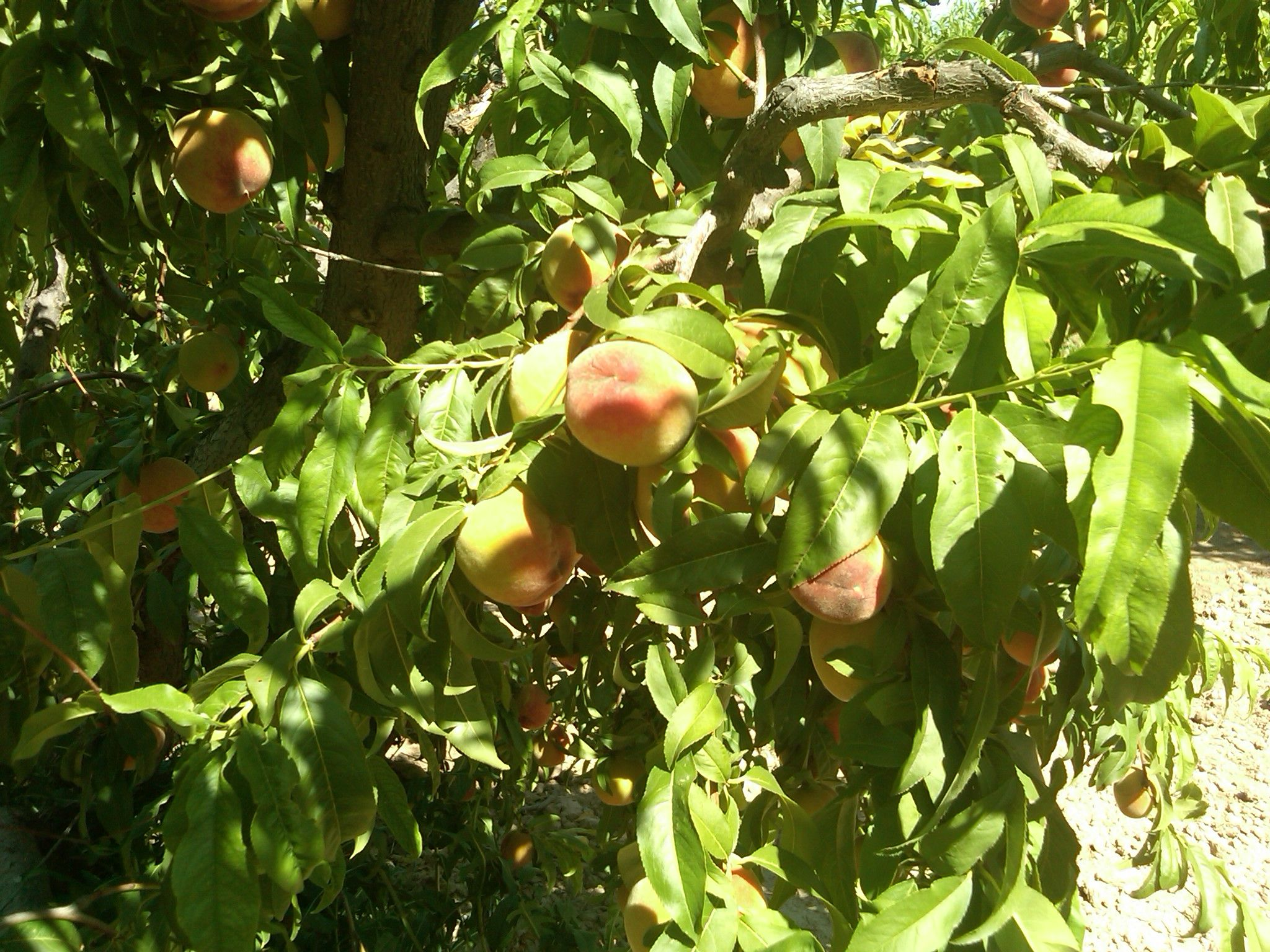 Pick UR Own Peaches...mmmmm! Queen Creek, AZ