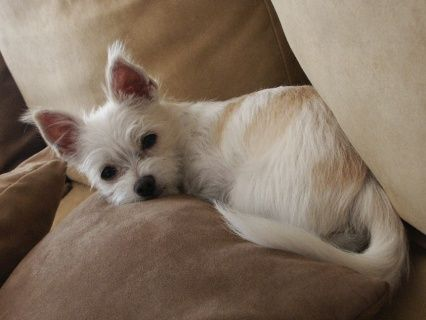 Malchi Chihuahua Maltese Chihuahua Mix Puppies Yorkie
