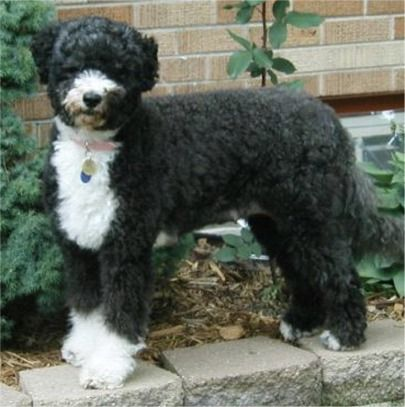 Usa Portuguese Water Dog Breeders Grooming Dog Puppies Reviews
