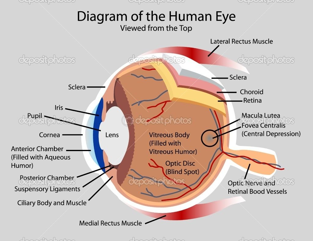 Human Eye Diagram Label Worksheet Fill In The Blank Atom Nerve Ap Biology I Nervous System Notes Pdf Hight Resolution Of Labeled Labelled