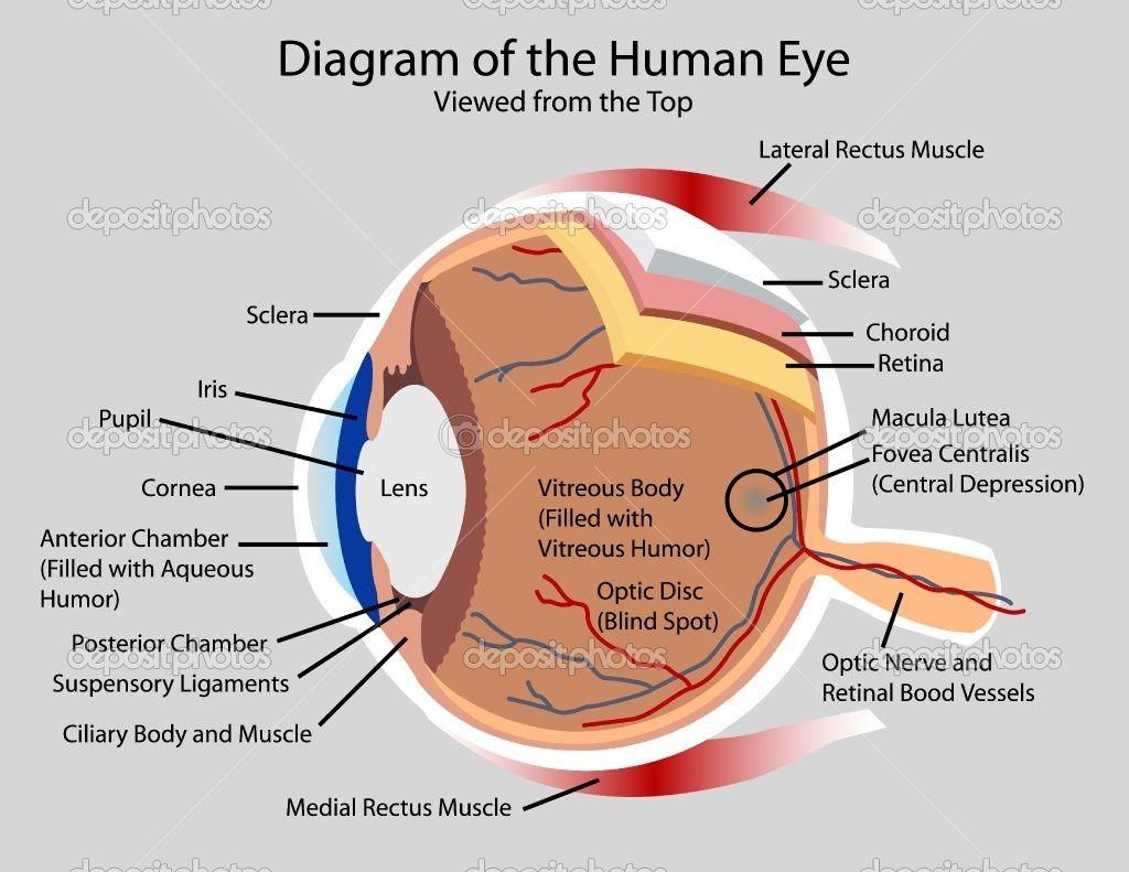 Human Eye Diagram Labeled Labelled Diagram Of Human Eye Human Eye