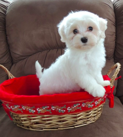 Have You Been Thinking About Adopting A Havanese This Is Your Sign Click Here To Find Out More About Good Dog S Certified Breeders Havanese Havanese Puppies Best Dogs