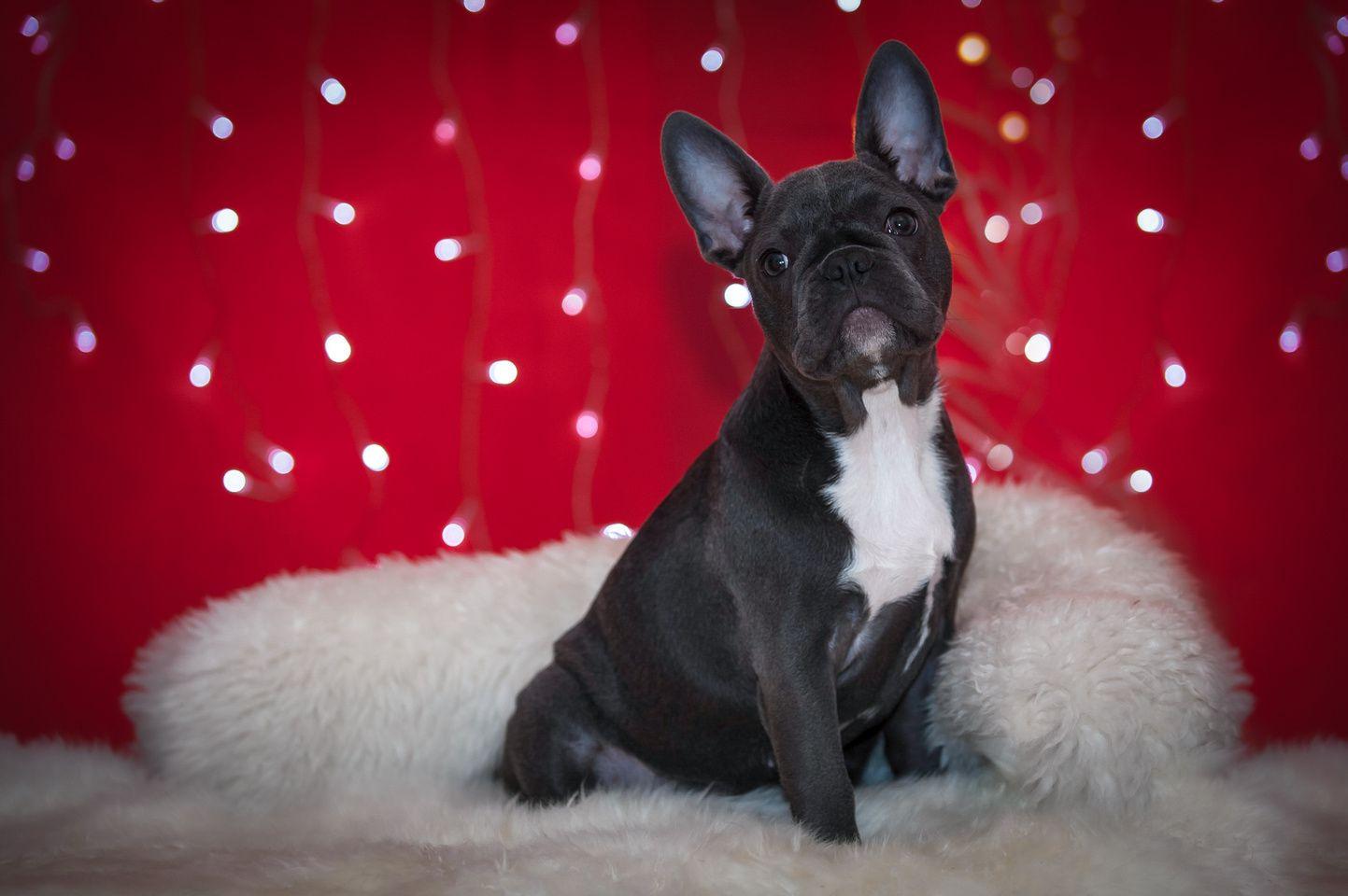 Buldog Francuski D707165 Dog Tshirt Dogs French Bulldog