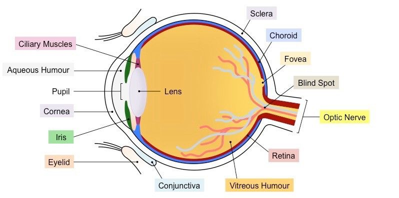 Labeled Diagram Of The Eyeball Luxury Sensory Structures