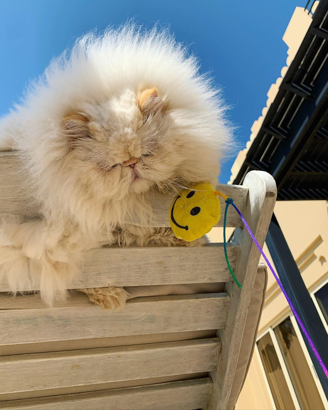 """@thezenkitty on Instagram: """"It's Monday, where's your happy face?! 😬😬😬 . . . #weeklyfluff #cats_of_instagram #cats #persiancat #persiancatsofinstagram #instamood…"""""""