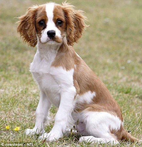 Cavalier King Charles Spaniel Hair Styles 5 Jpg 468 4 King Charles Cavalier Spaniel Puppy Cavalier King Charles Spaniel Tricolor Cavalier King Charles Spaniel