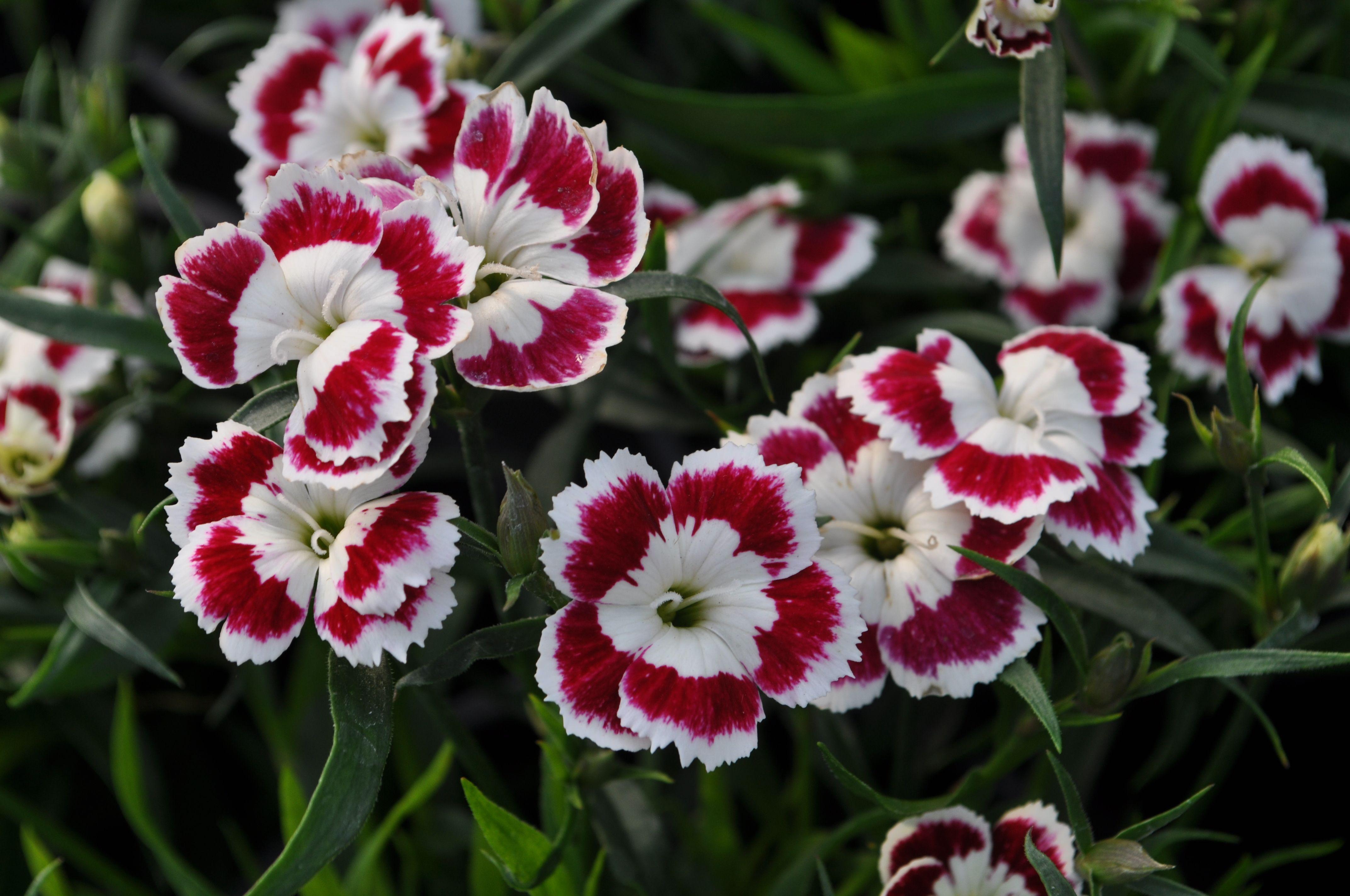 Dwarf Carnations