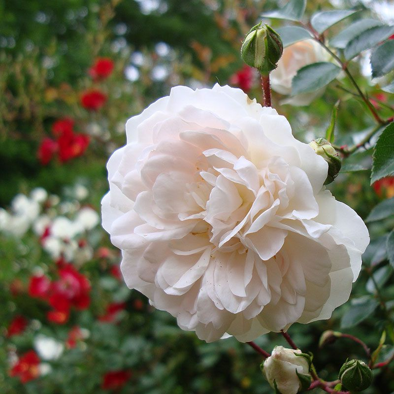 White Knockout Rose Flowers Plants And Trees