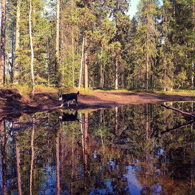We have this little pond in our backyard - Now I have two Räpsys 😂  Takapihan metsälampi ja Räpsy heijastus. #suomiretki #lampi #pond #luontokuva #heijastus #reflectiongram #reflection_shotz #reflection_perfection #rsa_nature_landscapes #uusiluontokuva #inspiredbyscandinavia @asko_suomi #igscandinavia #ig_finland #ig_myshot #visitlapland #visitfinland #outdoorfinland #luonto #ig_reflections #nature_brilliance #water_perfection #water_brilliance #lapponianherder #koira