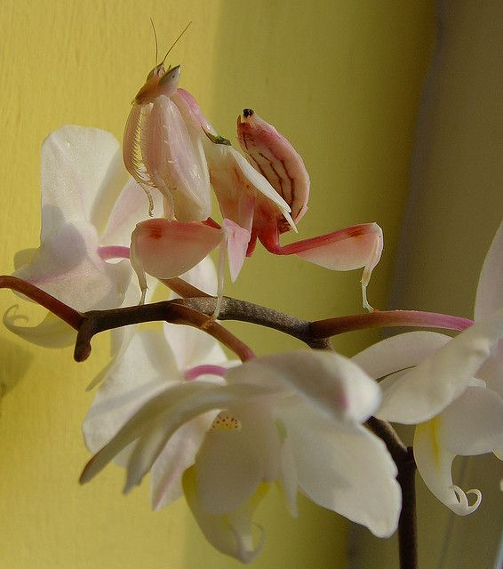 Orchid Mantis on her orchid! Coolest Insects Pinterest