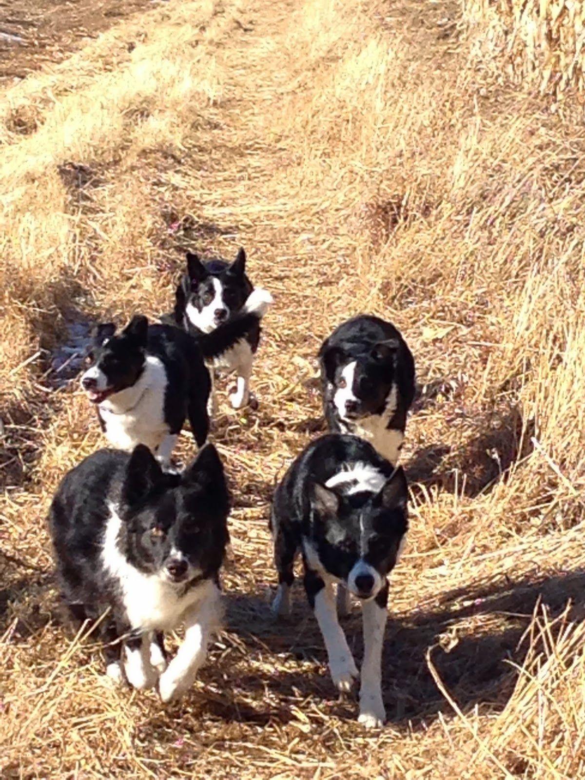 Threshholds And Gig Crazy Dog Lady Crazy Dog Border Collie