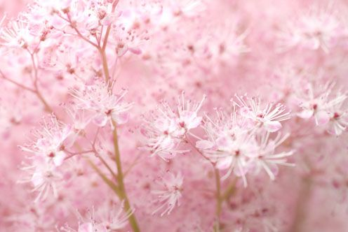 Feature Friday A Shady Surprise Astilbe Flowers Perennials Plants
