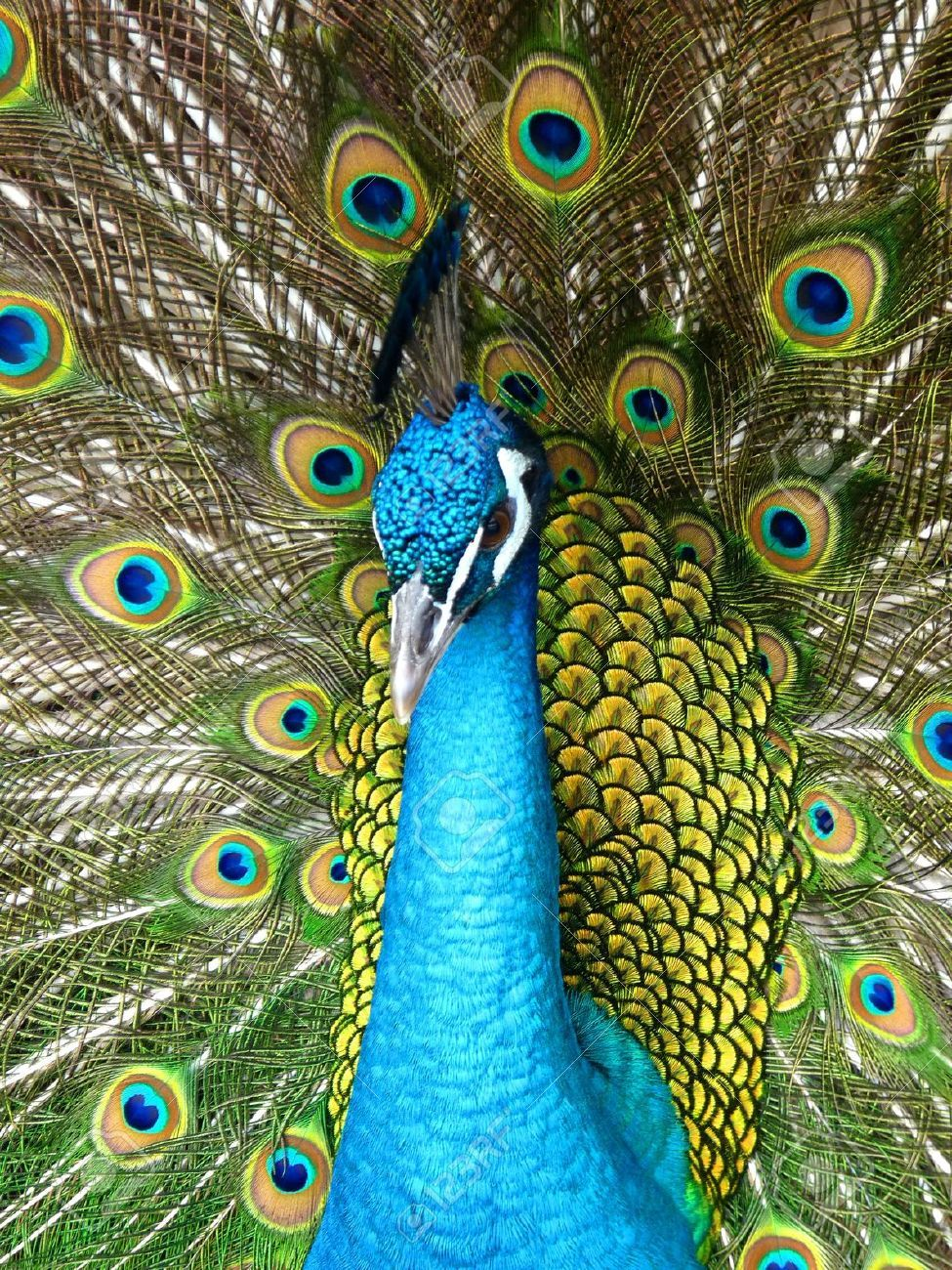 Proud Peacock With Open Feathers Peacock Peacock Bird Bird