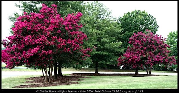 Crepe Myrtle Trees How I Love Thee And All Thy Lovely Colors Another Tree From California That I Cannot Grow In Ut Best Shade Trees Myrtle Tree Crape Myrtle