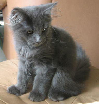 Blue Maine Coon kitty! I will name you Luna and you will be mine.