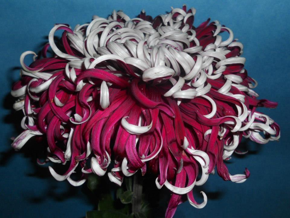 кучерявая хризантема фото