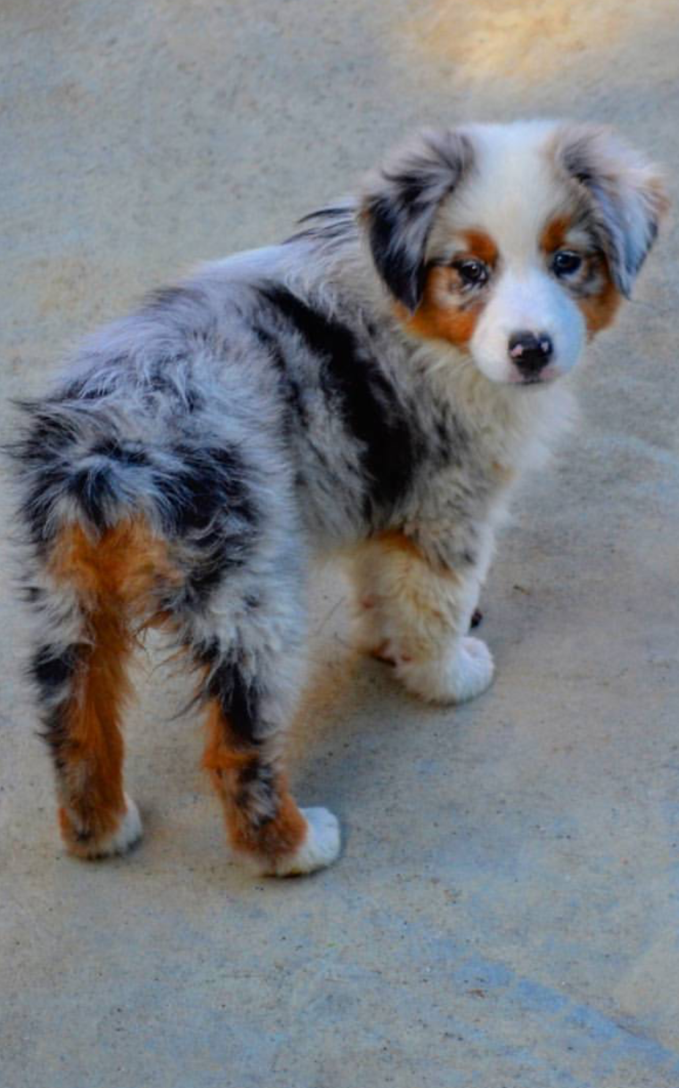 Nalah the Aussie Puppy Tap the pin for the most adorable