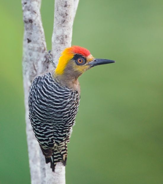 Golden-cheeked Woodpecker (Melanerpes chrysogenys) Found only in Mexico, on the Mexican Pacific slope from Sinaloa to Oaxaca. Abundant within it's distribution range. Lives in arid or semi-humid forests, plantations, and in partially open areas with patches of trees.