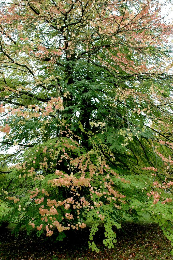 Cercidiphyllum japonicum croissance rapide soleil mi ombre - feuilles très ornementales